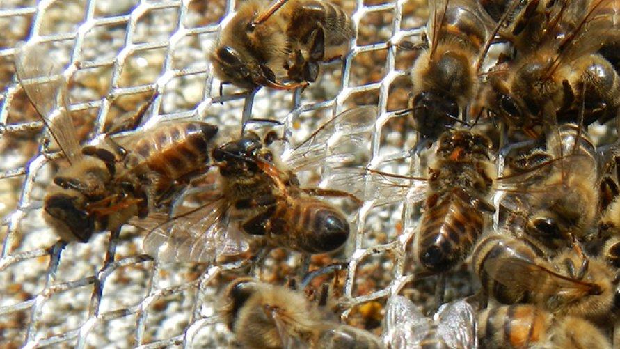 Zgnilec amerykański pszczół - uchylenie rozporządzenia