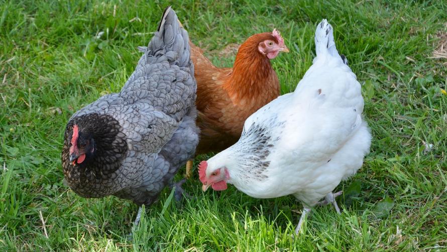 Zagrożenie ptasią grypą