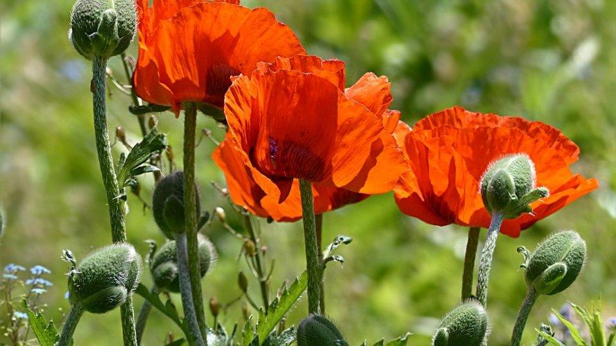 Informacja dla rolników dot. uprawy maku i konopi włóknistych