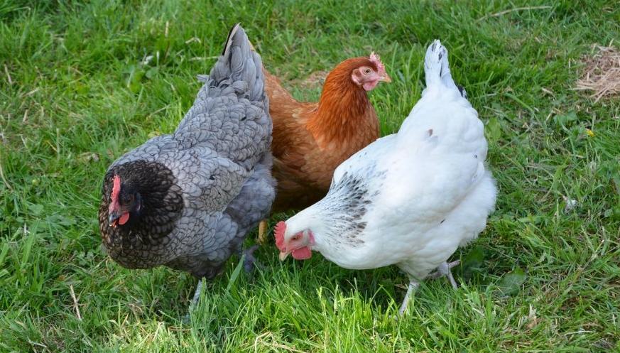Zakaz organizowania targów, wystaw, pokazów lub konkursów z udziałem ptaków na terenie województwa świętokrzyskiego